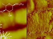 Representação esquemática da bicamada fosfolipídica da membrana e da sua alteração, após ação do antibiótico (à esquerda) e visualização da membrana danificada por ação de uma dose inferior à concentração mínima letal (à direita)