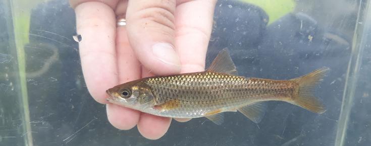 Fotografia de peixe do género Squalius em Portugal