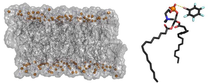 Representação de uma bicamada fosfolipídica usada como modelo de uma membrana celular (à esquerda); representação de uma ligação de halogéneo (a amarelo) efetuada entre um átomo de bromo e um átomo de oxigénio de um fosfolípido (à direita)