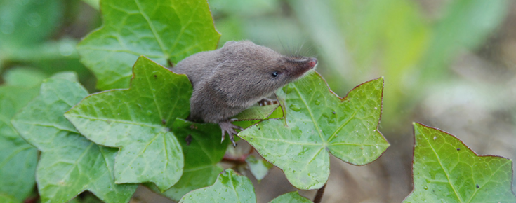 Biology of the Soricidae V